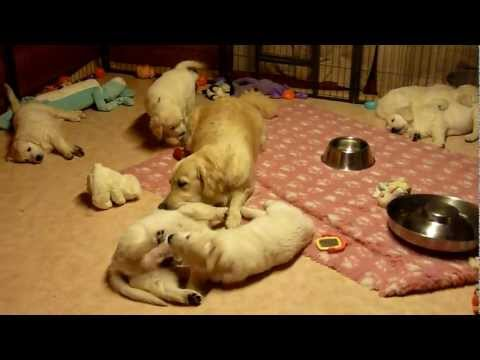 Golden Retriever Mum educating her puppies aged 7 weeks