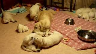 Golden Retriever Mum educating her puppies aged 7 weeks