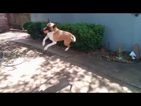 How High can a Malinois Basenji Dog Jump for her Ball?