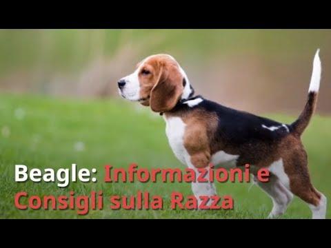Razza Beagle: Informazioni e Consigli Utili