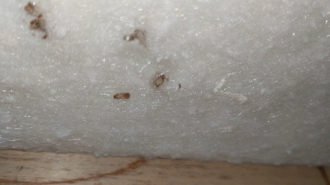 Carpet beetle larvae skins inside my couch - YouTube