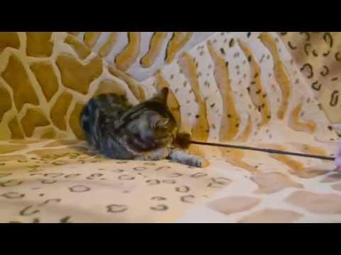 Шотландская кошечка окрас черный мраморный