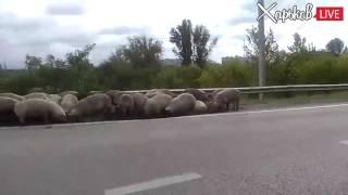 На окружной перевернулась фура со свиньями — копы ловят животных — Видео