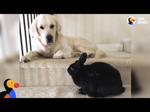 Bunny and Golden Retriever Dog Do Everything Together - OLAF & ANNIE   The Dodo
