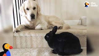 Bunny and Golden Retriever Dog Do Everything Together - OLAF & ANNIE | The Dodo