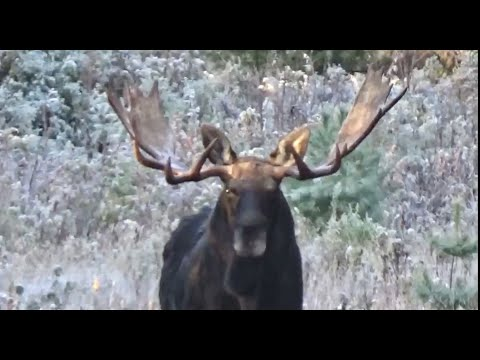 "Maine Moose Hunt – 58"" Bull – State Crossbow Record"