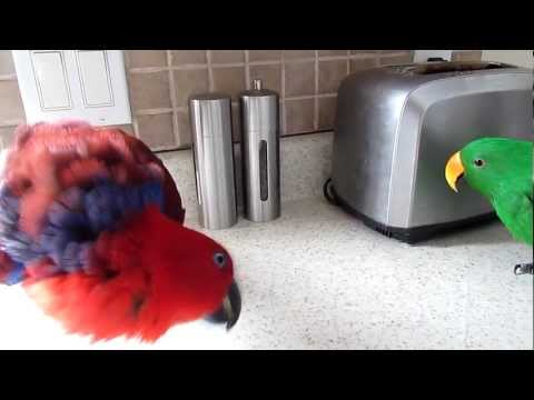 parrots acting Territorial (worse when hormonal)