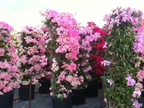 Week Of 11 09 09 15g Bougainvillea Trellis Youtube