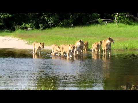 2011 botswana, Khwai, leeuwen steken rivier over