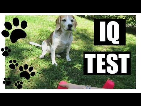 Dog IQ Test - Beagle | KatChats