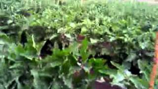 eggplant farming