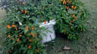 Incredibly Gigantic Ghost Pepper Plant growing in an off grid hydroponics container