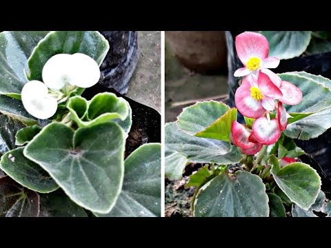 How To Grow Care Begonia Flower Plant Hindi Youtube