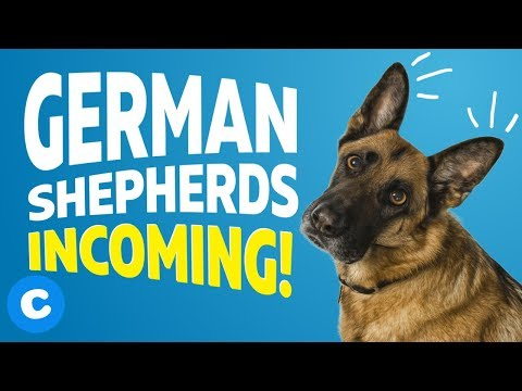 9-things-only-german-shepherd-owners-will-understand- -chewy