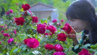 The life of roses.玫瑰花的一生。丨Liziqi Channel