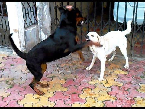 Rottweiler vs. Labrador Retriever