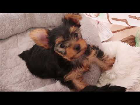 About Yorkshire Terrier Puppies 101 (Adorable)