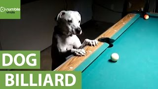 Dog reveals impressive billiards trick shots