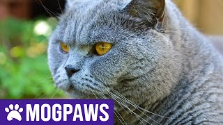 How Long Do British Shorthair Cats Live For?