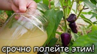 Эта ПОДКОРМКА для помидор, перца, баклажан УВЕЛИЧИТ УРОЖАЙ и ЗАЩИТИТ ОТ БОЛЕЗНЕЙ!