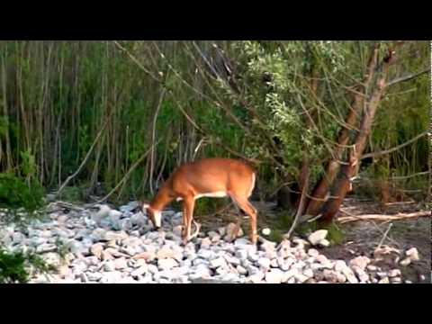 Deer in our Backyard Ravine