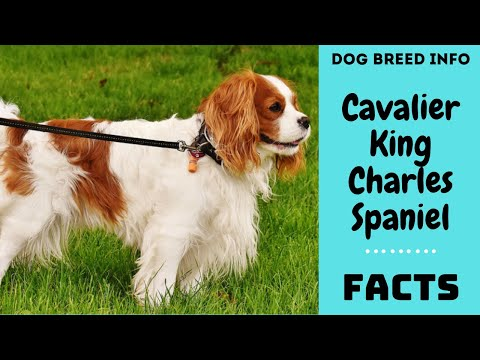Cavalier King Charles Spaniel dog breed. All breed characteristics and facts about CKCS