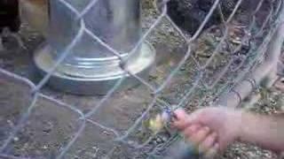 Chicken vs. Polly Pocket