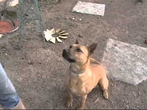 Rosa is a Sweet Shepherd/Pit Mix Available for Adoption
