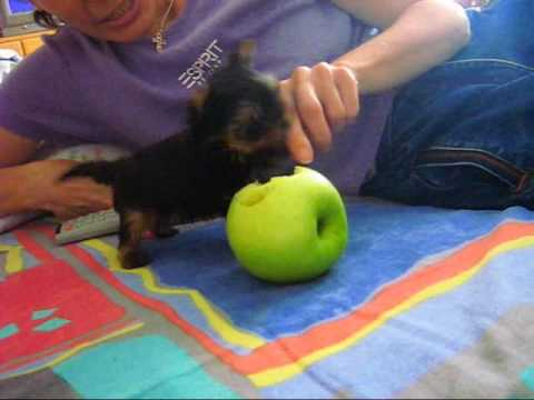 The smallest  yorkshire terrier - Part 2