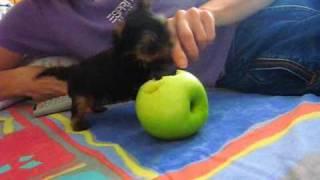 The Smallest  Yorkshire Terrier - Part 2