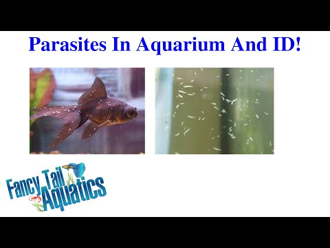 Parasites In Aquarium, Don't Miss! Slide Show And ID Of Critters!