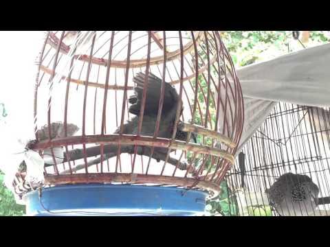 นกเขาใหญ่ต่อตำราเทพนม