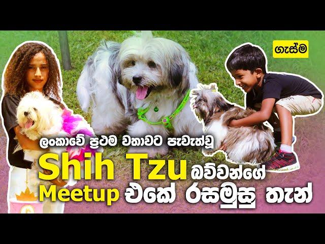 ලංකාවේ ප්රථම වතාවට පැවැත්වූ Shih Tzu බව්වන්ගේ Meetup එකේ රසමුසු තැන්
