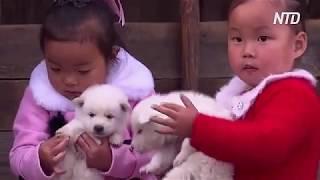 Собаки породи пхунсан — національна гордість північнокорейців
