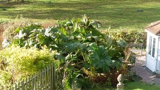 The Gunnera Cover Up - November 2014