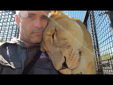 How To Gain Respect From Lions | The Lion Whisperer