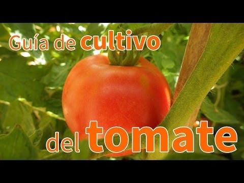 Cultivo de chile manzano for Asociacion de cultivos tomate