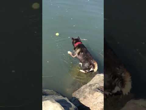Rocco the Shiba Won't Get His Ball
