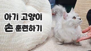 #먼치킨 아기고양이 손…