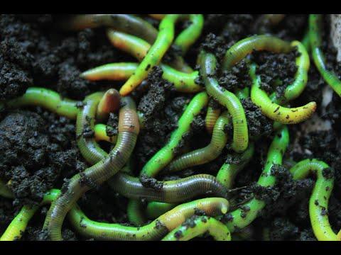 Как сделать червя ЗЕЛЕНЫМ? Как окрасить червей. Зеленая дендробена.