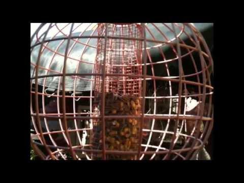 Black-Capped Chickadee Bird Call & Close-UP!