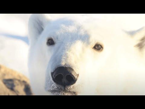 World Wildlife Fund: Celebrate wildlife like polar bears this season