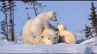 World Wildlife Fund: Celebrate wildlife like polar bears this season