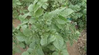 You Diagnose 1: suspected virus problem on potato