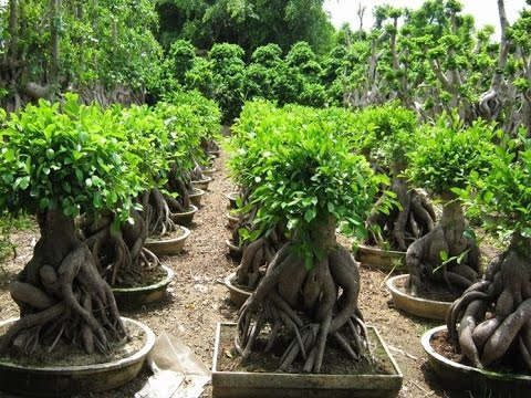 What is a Ginseng Ficus Exactly? - YouTube