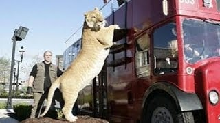 World's BIGGEST CAT! The LIGER (a LION TIGER cross SUPER-BREED!)(World's BIGGEST CAT! The LIGER (a LION TIGER cross SUPER-BREED!) Annotation text from video: This liger, named Hercules, is a cross between a male lion ..., 2013-11-17T16:21:28.000Z)