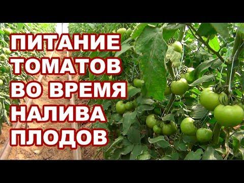 Питание для помидоров во время налива и побурения плодов