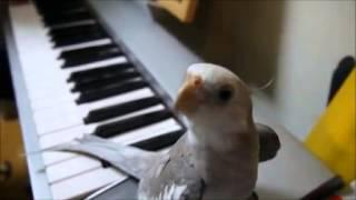 可愛鸚鵡哼唱豆豆龍