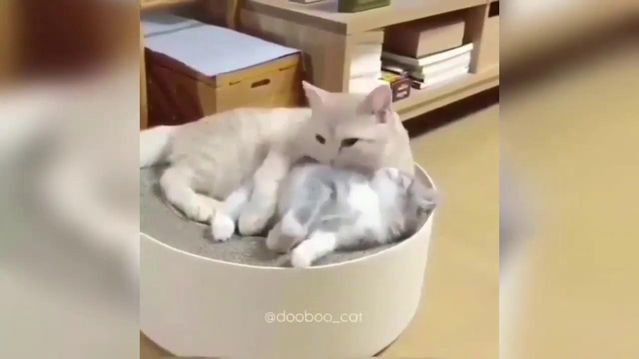Video Kucing Persia lucu (TERBARU)