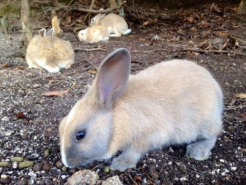 Rabbit Island Japan: A Day in the Life